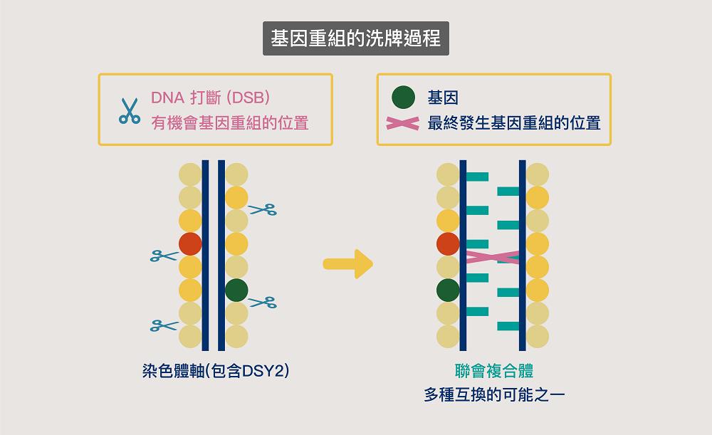 染色體上的 DNA 會發生多處打斷 (DSB) ,但最終能互換的 DNA 片段只有一部分 資料來源│王中茹提供、圖說改編│林婷嫻 / 張語辰