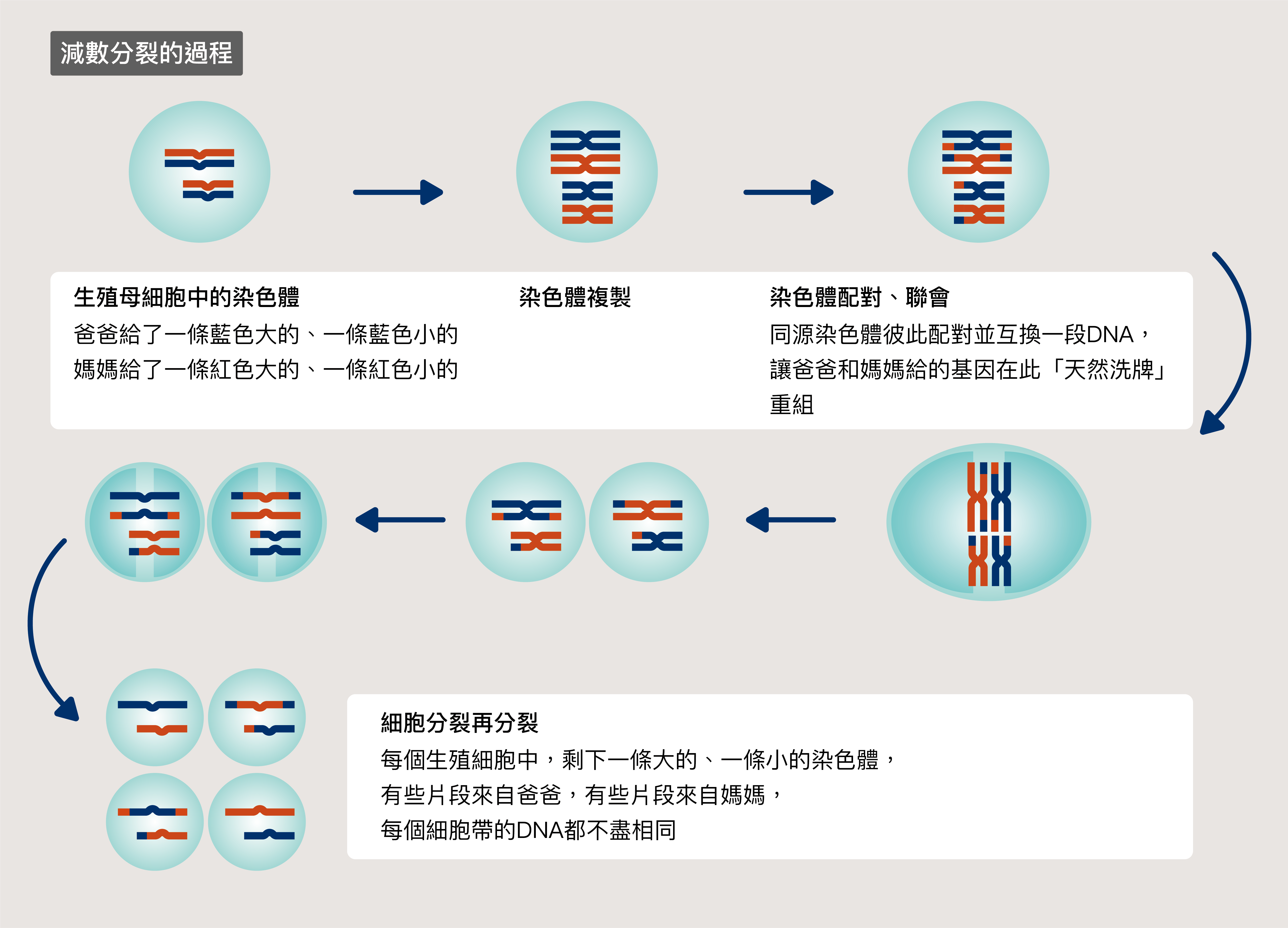 爸和媽媽的染色體,在細胞中要尋找彼此、配對互換 DNA, 才有機會生出更好的下一代 圖說設計│林婷嫻、張語辰