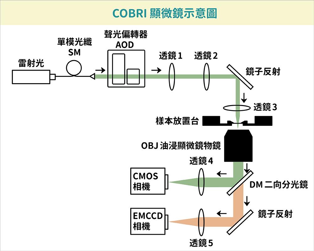 當雷射光通過層層關卡穿透樣品後,會產生 COBRI 訊號和激發螢光訊號,並各自投影到高速 CMOS 相機和 EMCCD 相機。 資料來源│Coherent Brightfield Microscopy Provides the Spatiotemporal Resolution To Study Early Stage Viral Infection in Live Cells 圖說改編│林婷嫻、張語辰