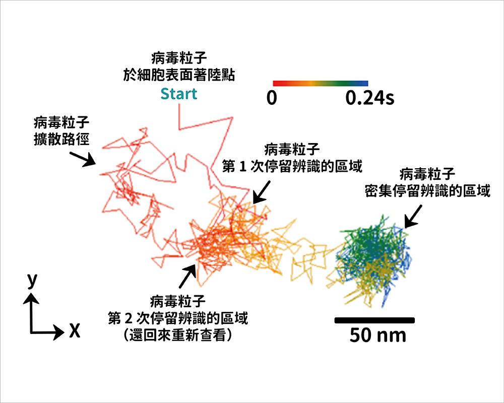 超高速光學顯微鏡下,牛痘病毒於細胞表面著陸移動軌跡(擴散係數〜1μm2 / s),圖中所有數據皆以 5 kHz 記錄。 資料來源│Coherent Brightfield Microscopy Provides the Spatiotemporal Resolution To Study Early Stage Viral Infection in Live Cells 圖說改編│林婷嫻、張語辰