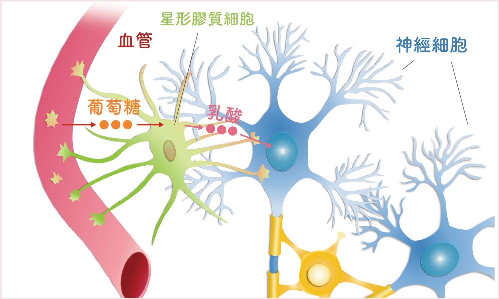 血液中的葡萄糖,經過星形膠質細胞變成乳酸,再進入神經細胞轉成能量。圖│洪宗宏繪製(圖│研之有物改編)