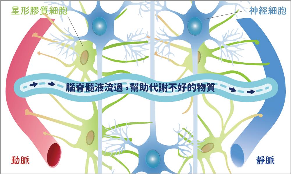腦脊髓液流過神經網絡,幫助神經細胞代謝不好的蛋白質,例如造成失智症的類澱粉蛋白( A-β )。圖│洪宗宏繪製(圖│研之有物改編)