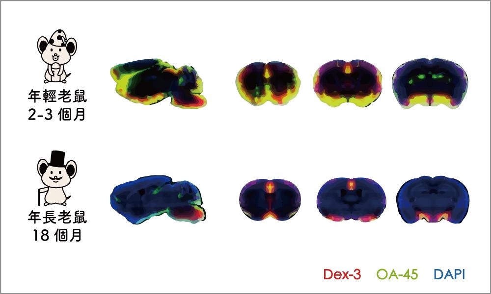 年輕的老鼠(左方腦切片)與年老的老鼠(右方腦切片),年老的老鼠腦脊髓液流通擴散的效果差很多。資料來源│Dr. Maiken Nedergaard , The nightlife of the brain (2/11 . 2015; NIH Seminar) (圖│研之有物改編)