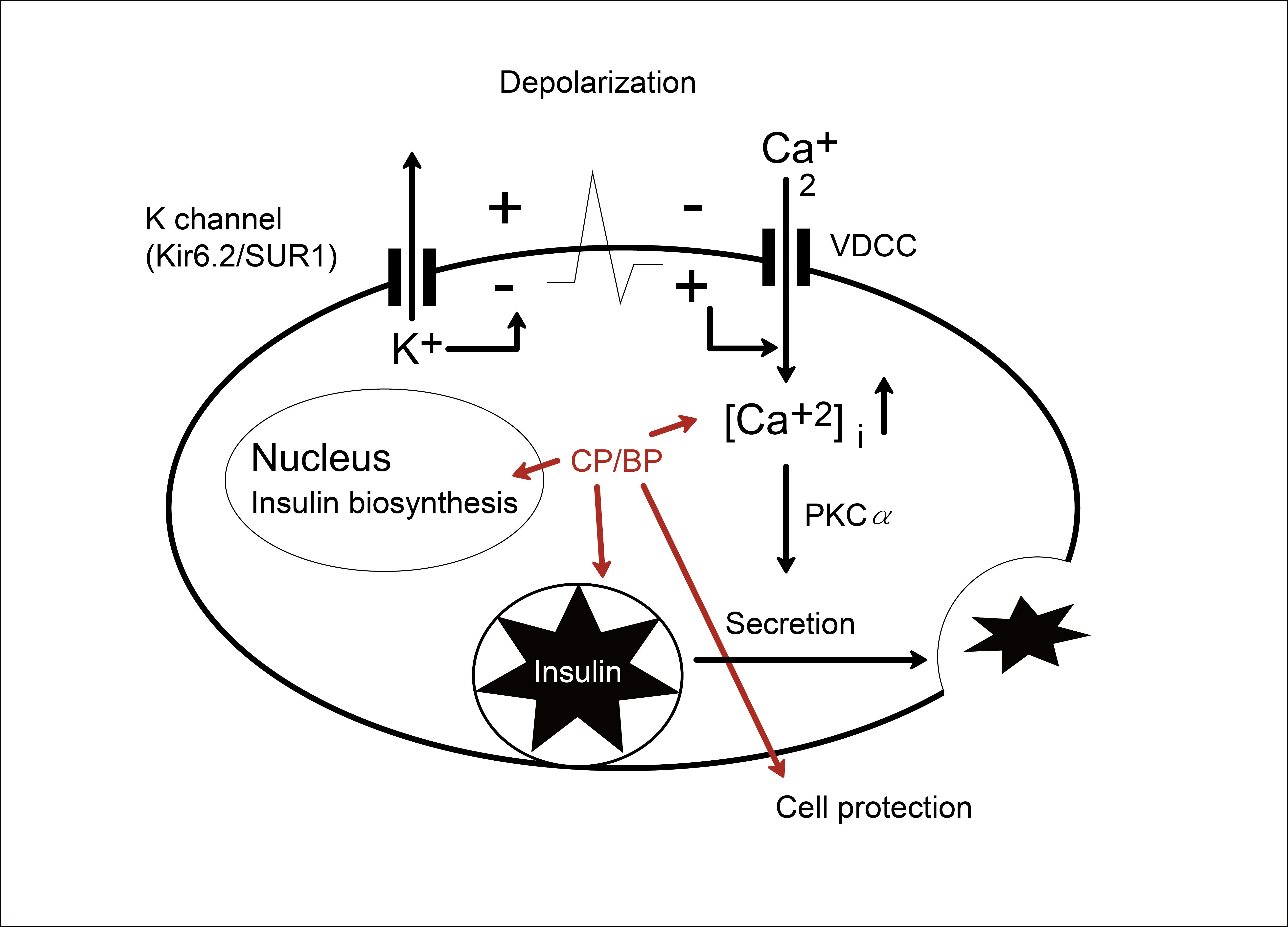 咸豐草 (BP) 與所萃取出的「聚炔類化合物」(CP),可以經過控制胰島細胞的鈣離子與鉀離子通道,來增加細胞中胰島素分泌,以及保護胰島細胞。 圖片來源│楊文欽提供