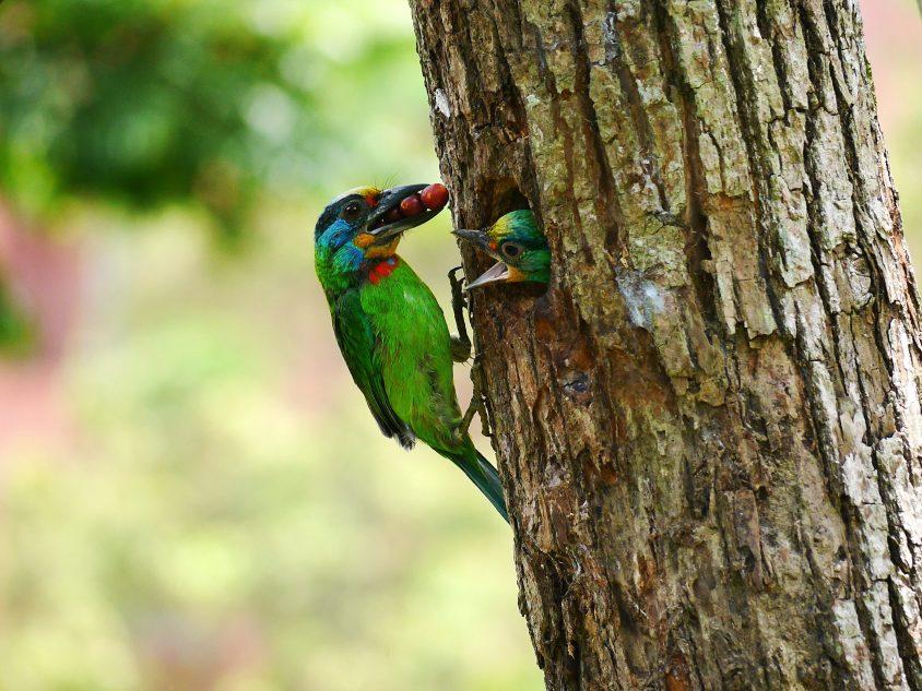 五色鳥:數數看牠身上是不是有 5 種顏色,因為叫聲和在枯枝挖洞築巢時,皆發出像敲打木魚的聲音,又名花和尚,是中研院內最華麗的野生好朋友之一。 圖片來源│生態志工隊提供