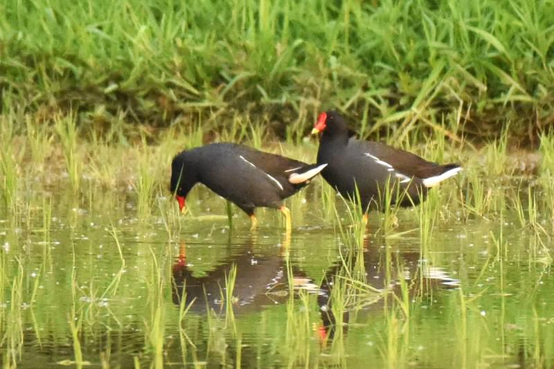 紅冠水雞:溼地常見的秧雞科鳥類,是中研院生態池第一批自然出現的住客。圖│生態志工隊
