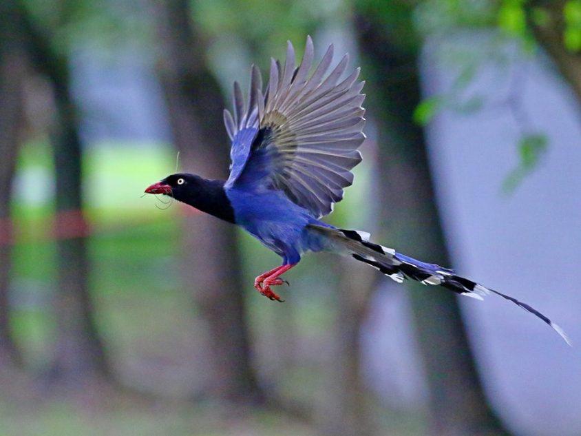 台灣藍鵲:又名長尾山娘,分布於低海拔的闊葉林。喜歡群居會互相幫助哺育幼鳥,對幼鳥保護心很強,若在院區看見育雛的藍鵲,請輕聲繞過以免驚擾親鳥引來攻擊! 圖片來源│生態志工隊提供