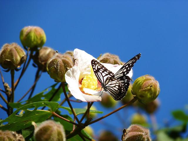 山芙蓉:潔白的花朵,在午後轉為粉紅色,傍晚凋落前,又變成紫紅色,一日花色三變,因此有「三醉芙蓉、千面美人」之稱。適合植為庭園觀賞樹;花可供食用,木材色白且質地輕軟,可供製木屐或漁獵用之浮鏢;其樹皮富含纖維,可用來編製繩索。此外,也是昆蟲的蜜源及誘鳥植物。圖│四分溪畔 / 中央研究院生態志工園地