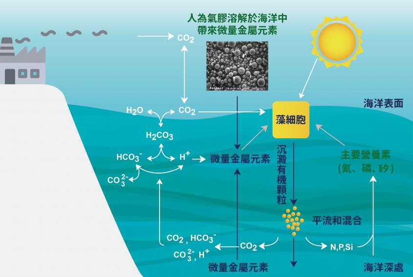 从物质循环图可看出,当海中微量金属元素与营养物质供应发生变化时,浮游植物的生长繁殖也会受到影响。 资料来源│Sunda (2010) 图说重制│林婷娴、张语辰