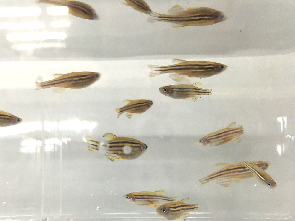 找找看,能發現失去再生能力的基因突變斑馬魚嗎?被截斷的尾鰭是個指引。 攝影│張語辰