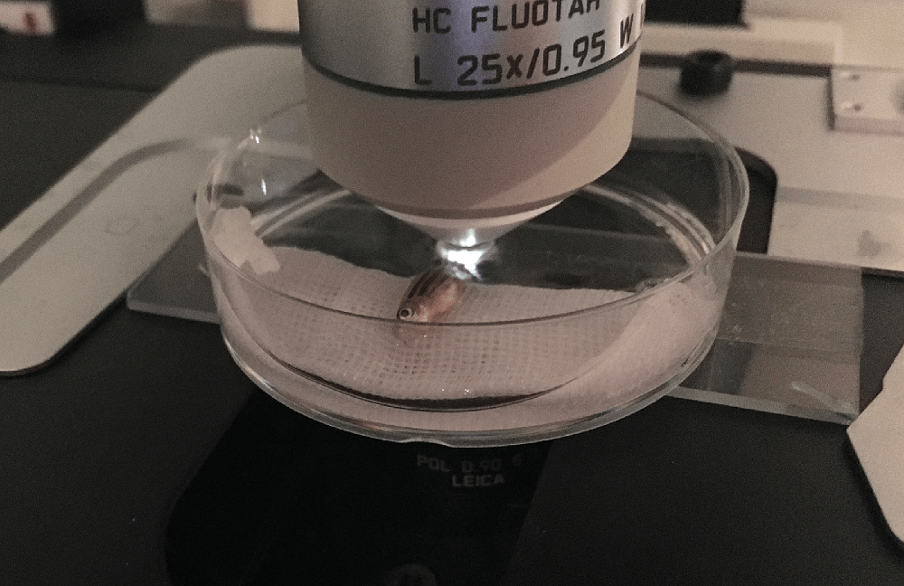 斑馬魚的體型小且扁平,麻醉後易於透過顯微鏡長時間觀察。 攝影│張語辰