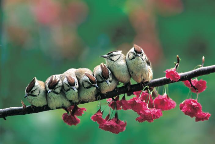 冠羽畫眉 (Yuhina brunneiceps) 是台灣特有鳥類,體長 12~13 公分,體態短小敏捷,頭頂則有鑲黑邊的栗褐色羽冠。圖│林英典、沈聖峰