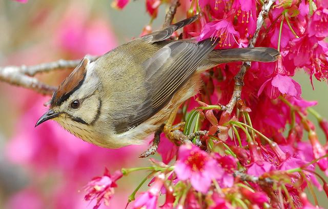 沈聖峰自大學起研究冠羽畫眉,他發現「習性、棲地、體態相近的鳥類不少,例如黃山雀,但是冠羽畫眉在數量上總是比較佔優勢。圖│Robert tdc