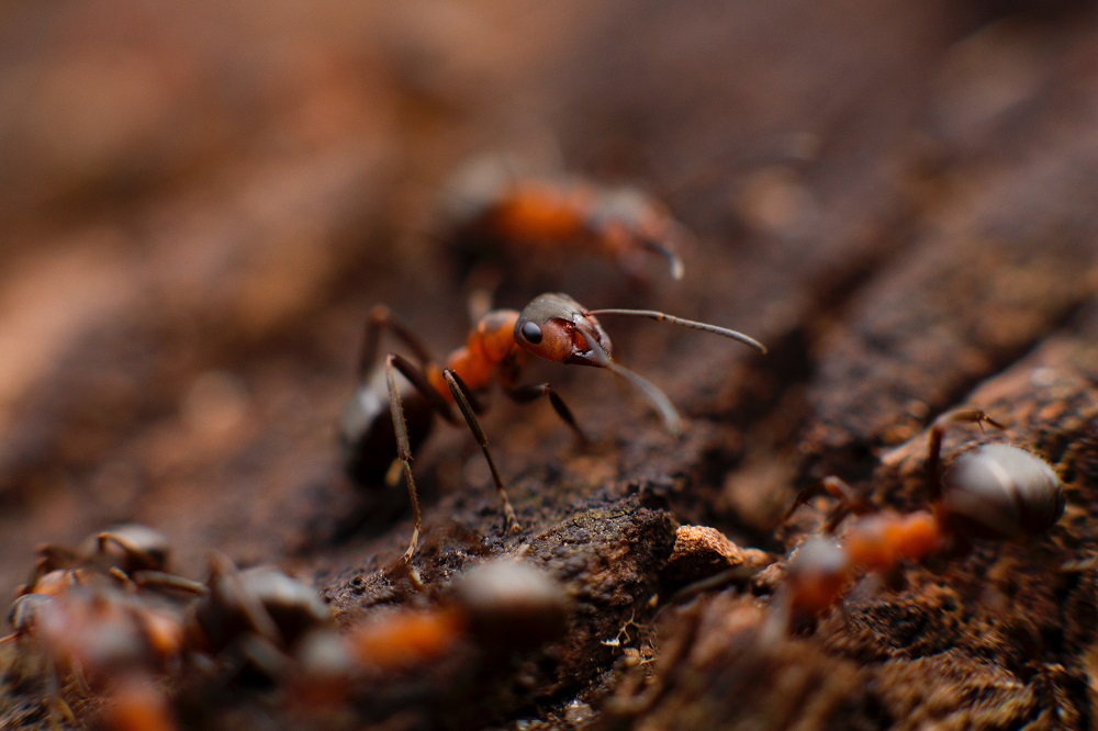 Wilson 認為,螞蟻與人類分別是無脊椎、脊椎動物之中數量最多,這兩個物種取得優勢的原因是個體能夠合作,進而提高族群整體效益,成為最強勢的物種。 圖片來源│Mikhail Vasilyev