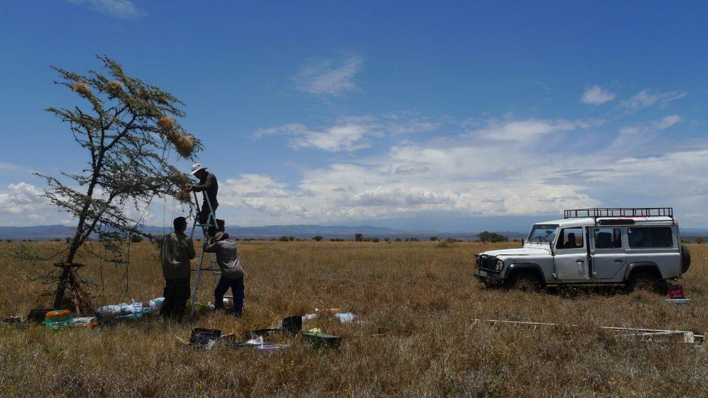 沈聖峰與團隊在肯亞 Mpala 保護區,實際觀測灰頭織巢鳥的合作繁殖行為。 圖片來源│沈聖峰提供
