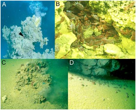 物理條件嚴酷、缺乏初級生產者的龜山島周邊海床,卻是曾庸哲與國際團隊合作的研究對象「烏龜怪方蟹 (Xenograpsus testudinatus)」的密集棲地。 圖片來源│Strong Ion Regulatory Abilities Enable the Crab Xenograpsus testudinatus to Inhabit Highly Acidified Marine Vent Systems