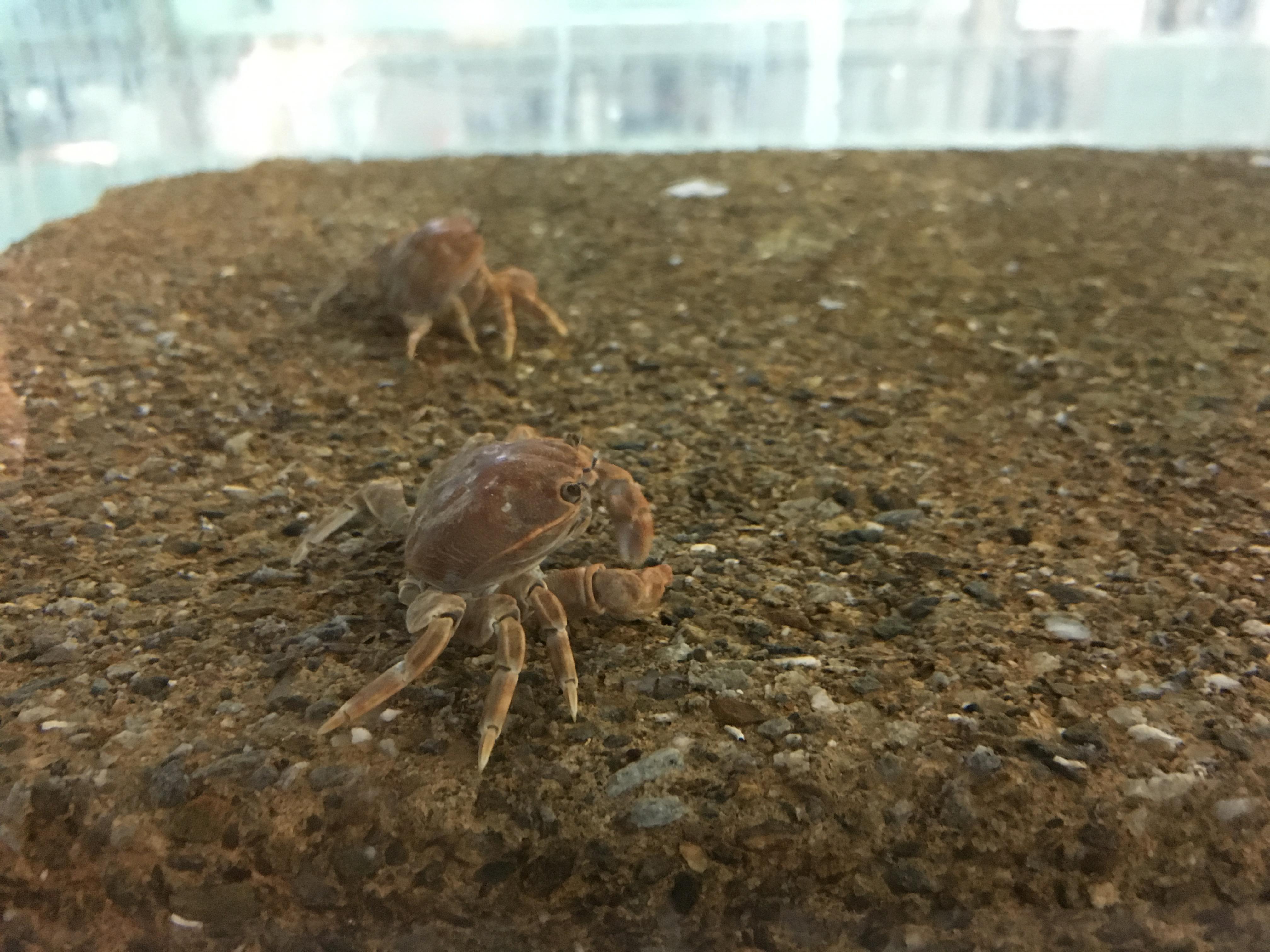 個頭小小,卻能憑著「代謝能力」適應高溫、強酸、劇毒環境的烏龜怪方蟹。圖│研之有物