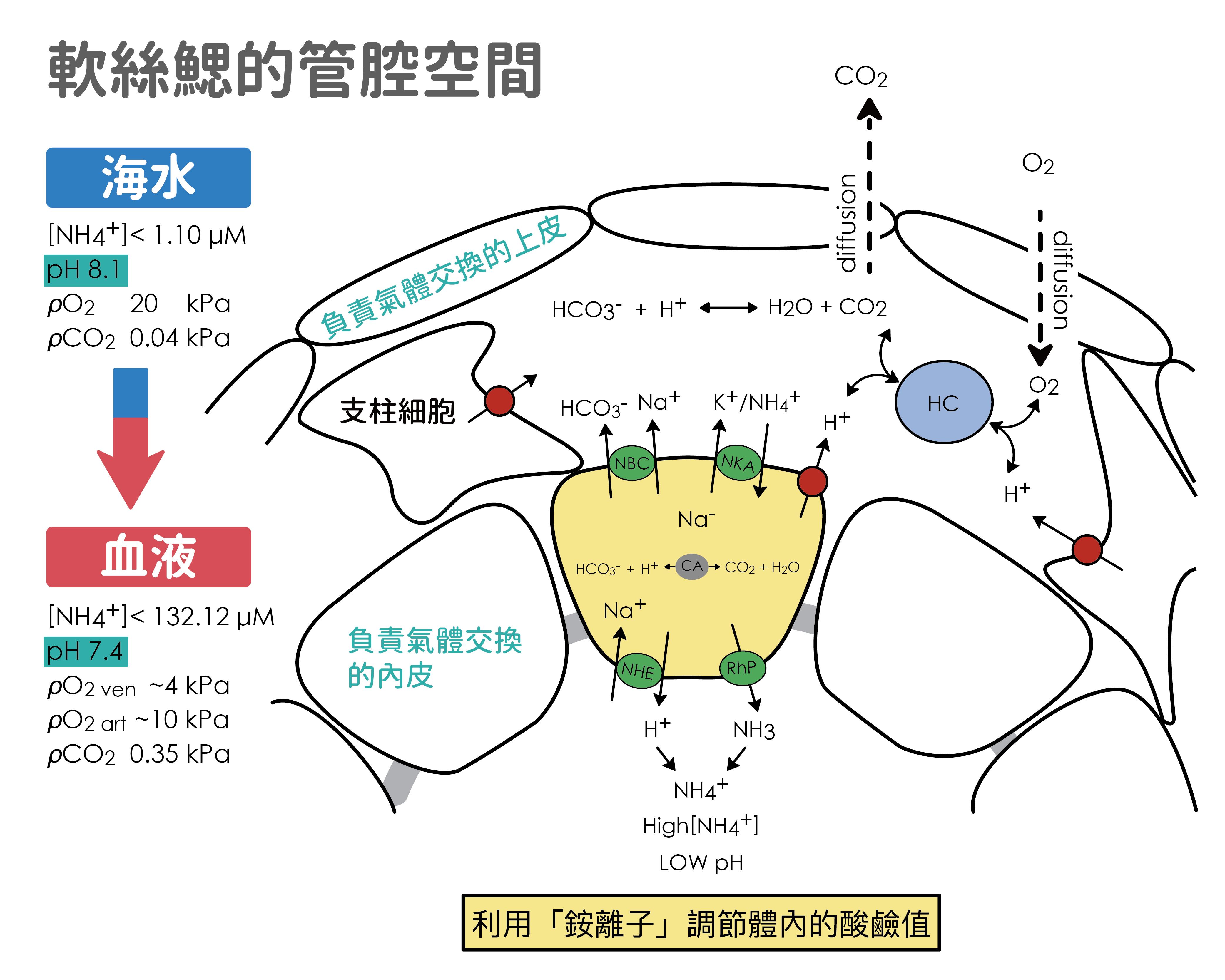 在 pH 8.1 的海水中,軟絲在鰓管腔進行銨離子調控,讓體內血液維持在 pH 7.4 。圖│研之有物 (資料來源│Branchial NH4+-dependent acid–base transport mechanisms and energy metabolism of squid (Sepioteuthis lessoniana) affected by seawater acidification)