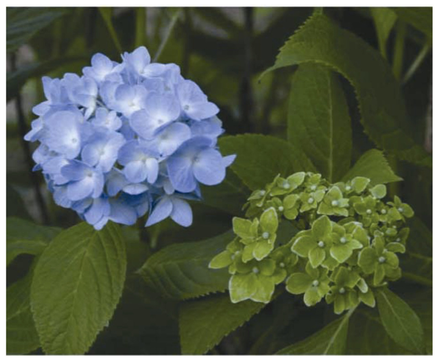 左為健康的繡球花,右為受植物菌質體感染、該開花的部位長出葉子。 圖片來源│Genomic and evolutionary aspects of phytoplasmas (CC-BY 授權)