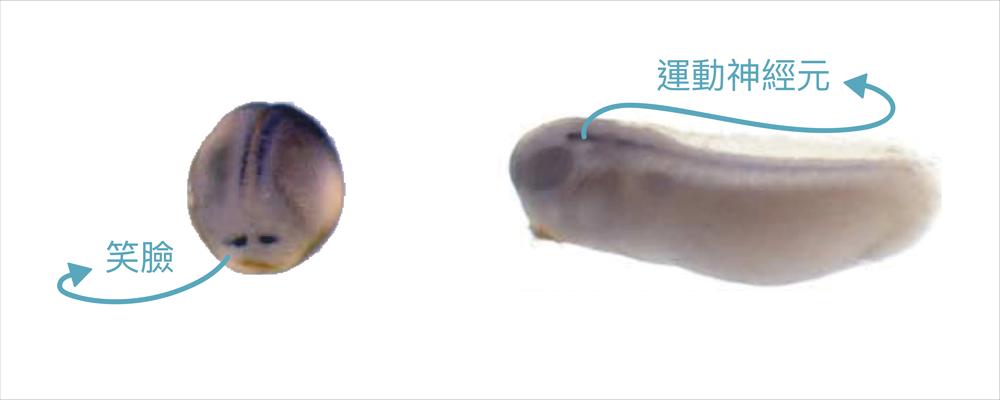 新穎基因在非洲爪饞的胚胎上表現像一個笑臉(左),後續會控制運動神經元的發育(右)。 資料來源│Identification of novel genes affecting mesoderm formation and morphogenesis through an enhanced large scale functional screen in Xenopus 圖說重製│林婷嫻、張語辰