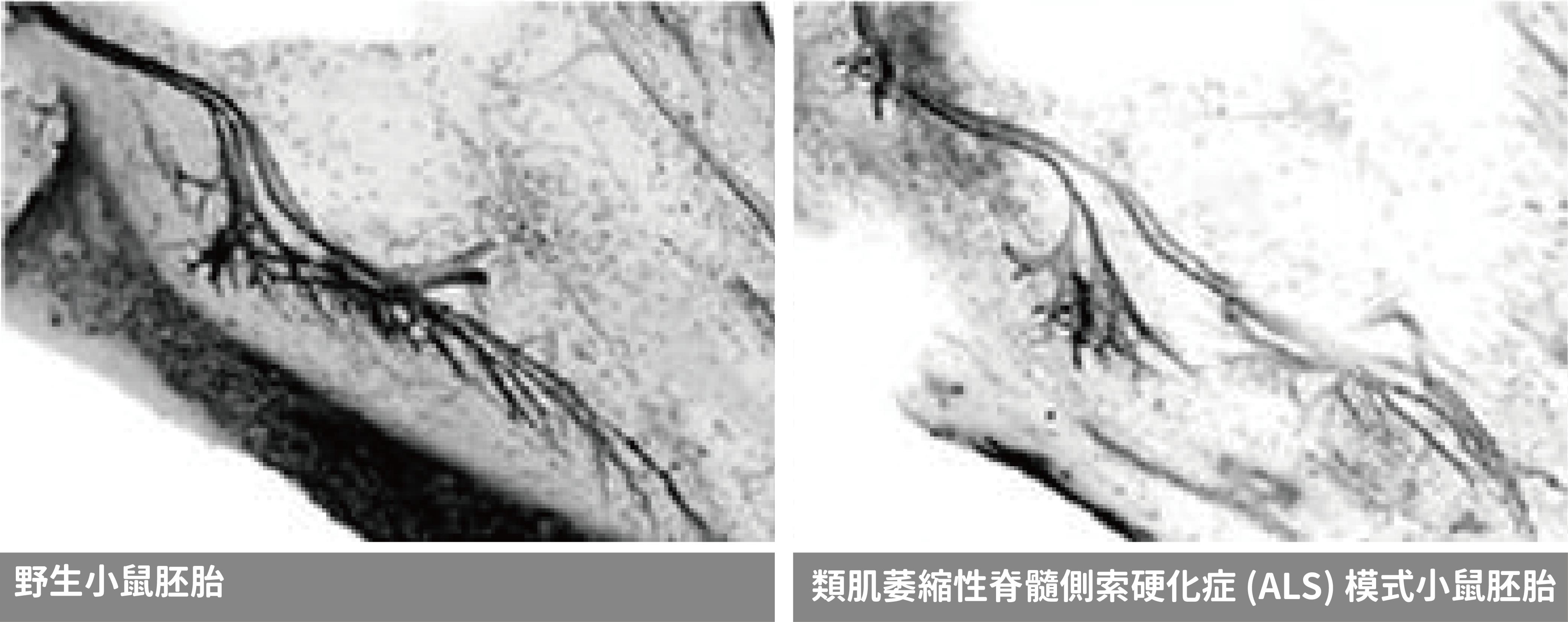 兩種小鼠胚胎的運動神經元比較 (中間長長、尾端伸出許多樹突的那一條)。圖片來源│Crucial Cluster: MicroRNAs Keep Motor Neurons Alive