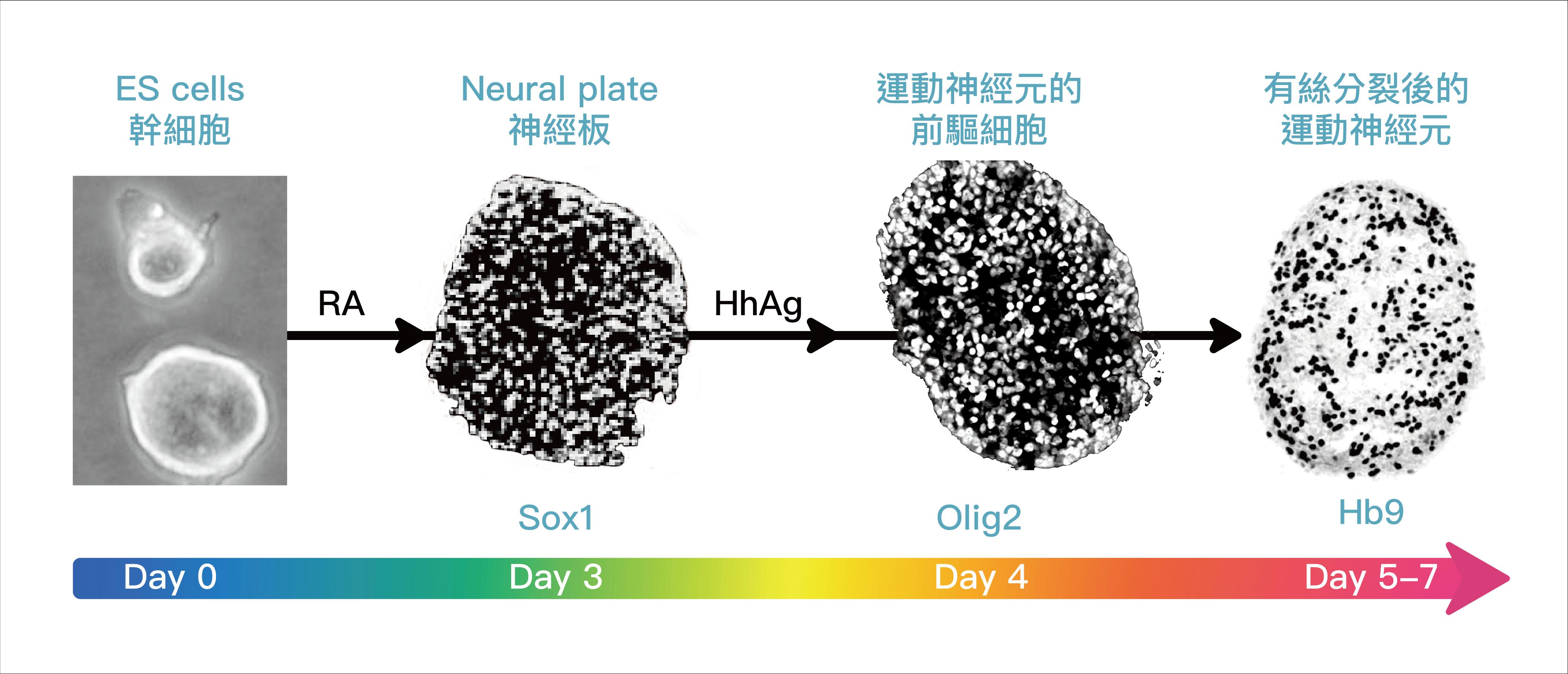 小鼠胚胎幹細胞 (ES cell) 在培養皿中,會根據外在訊號的濃度高低、生長因子的引導,演繹出不同的運動神經元前驅細胞,並進一步分化成不同的亞型 (subtype) 。圖│研之有物 (資料來源│陳俊安)