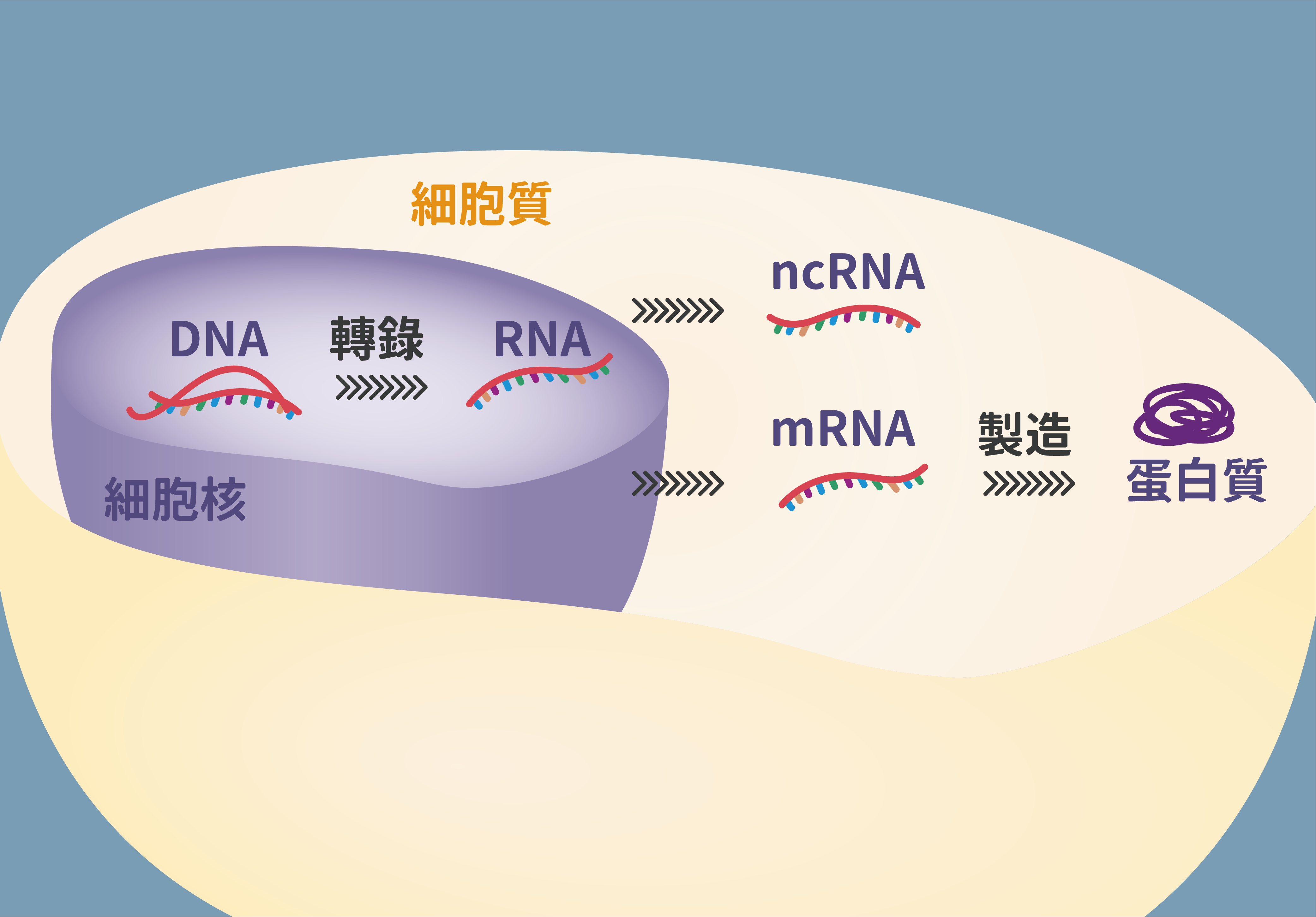 細胞內 DNA、RNA、蛋白質的機制。圖│研之有物