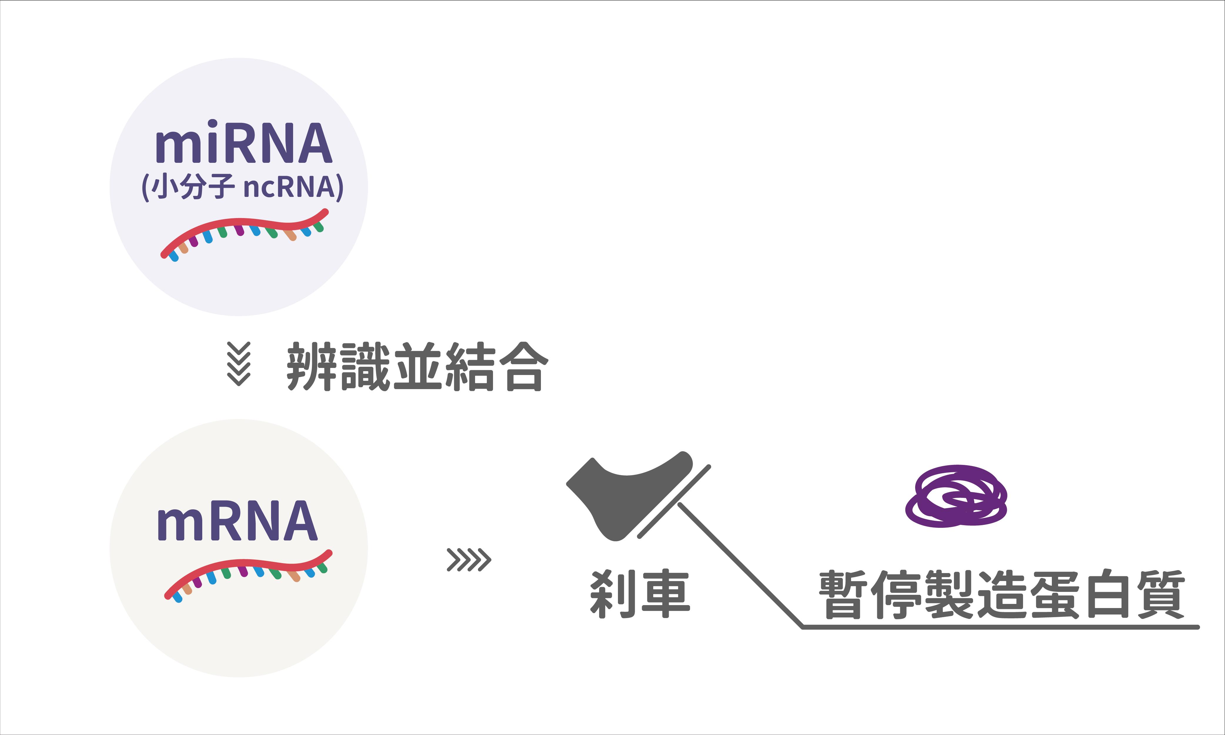 mRNA 產生太多或太少蛋白質都不好,但又不能把產生的開關關掉。microRNA 就像煞車,讓 mRNA 適時停下來,是自然界找到的調控方式。圖│研之有物