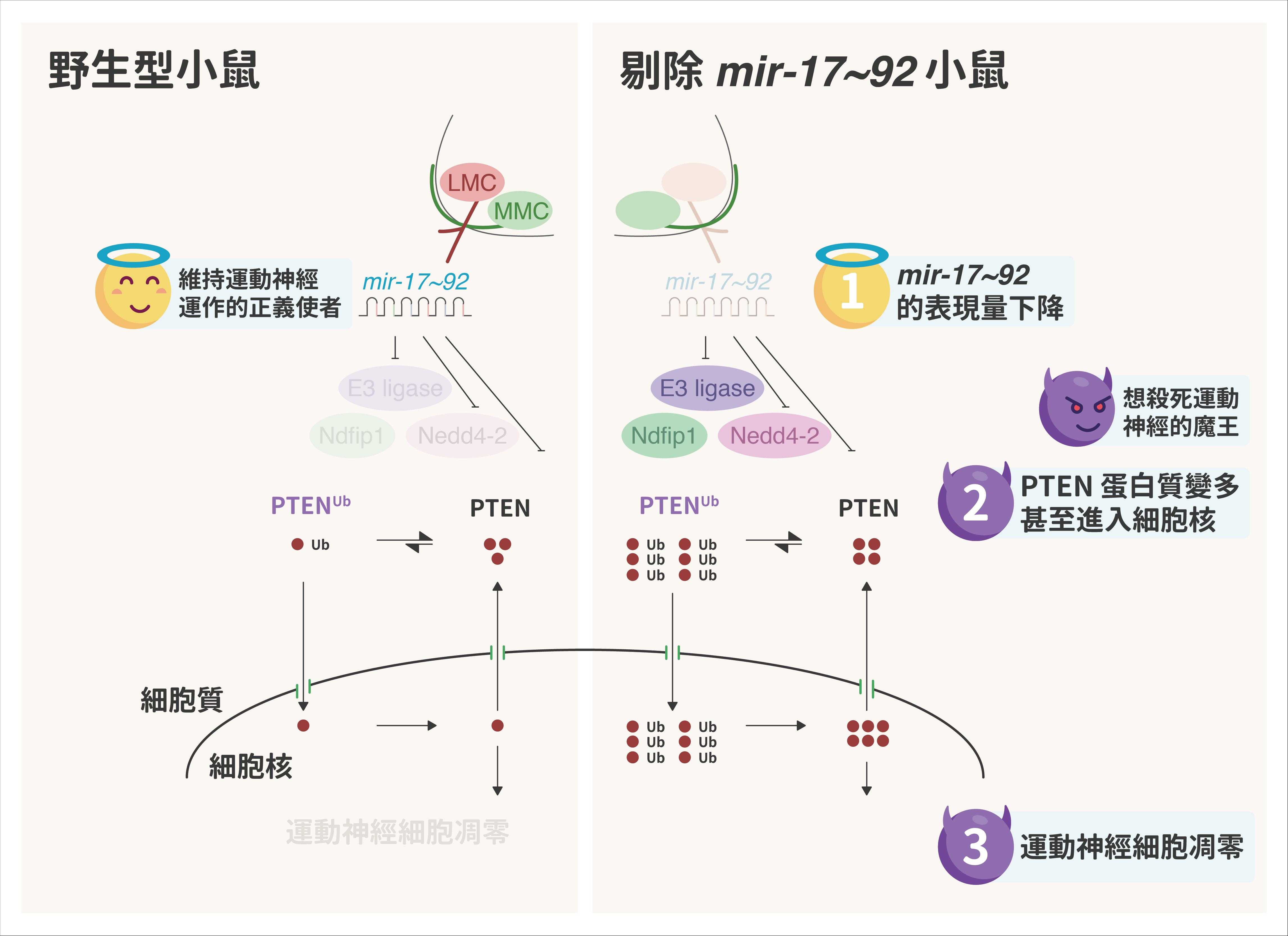 野生型小鼠(左)由於有 mir-17~92 抑制 PTEN 蛋白質,維持運動神經細胞正常運作。但剔除 mir-17~92 的小鼠,PTEN 蛋白質變多,甚至進入運動神經細胞裡、造成細胞凋零。 資料來源│Mir-17~92 Governs Motor Neuron Subtype Survival by Mediating Nuclear PTEN. 圖說重製│林婷嫻、張語辰