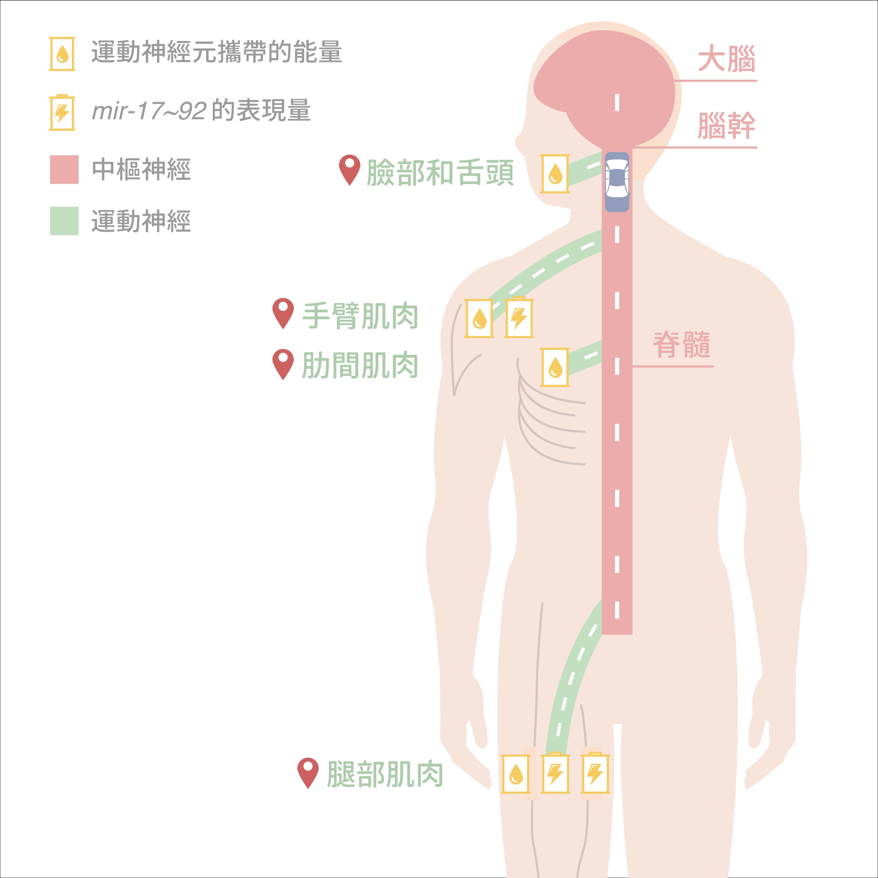 將人體比喻為台灣地圖,到達不同目的地的「運動神經」樹突長度相差很多, mir-17~92 在各種運動神經元內的表現量也不同。圖│研之有物 (資料來源│陳俊安)