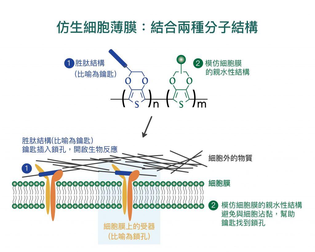 (1) 細胞膜上的特定受器 (integrin) 會辨識「仿生細胞薄膜」上的特定胜肽 (peptide),宛如鎖孔與鑰匙結合。 (2) 為了避免細胞非特異性的沾黏,「仿生細胞薄膜」還需加上模仿細胞膜的親水性結構。 資料來源│尤嘯華提供 圖說重製│王怡蓁、張語辰