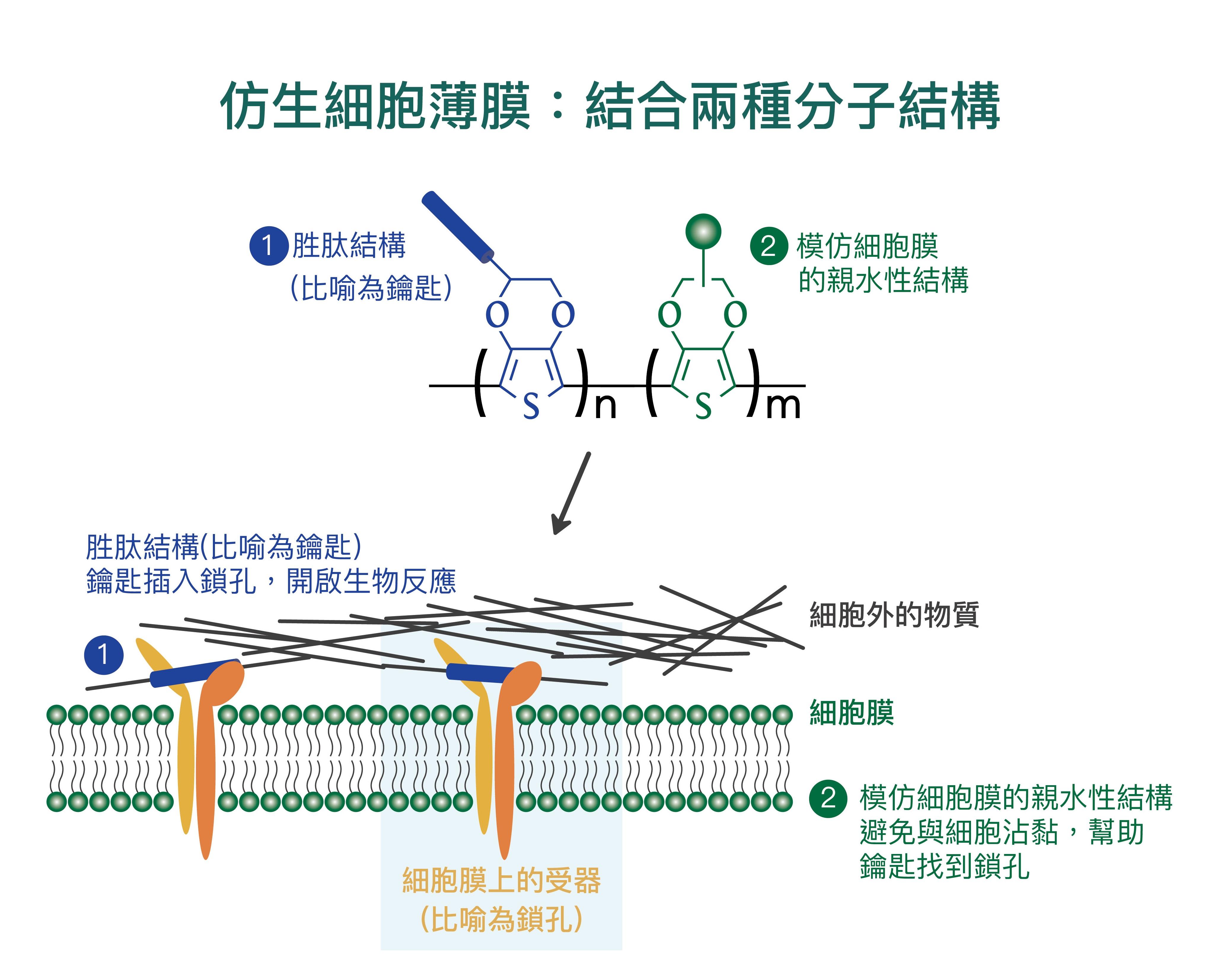 (1) 細胞膜上的特定受器 (integrin) 會辨識「仿生細胞薄膜」上的特定胜肽 (peptide),宛如鎖孔與鑰匙結合。(2) 為了避免細胞非特異性的沾黏,「仿生細胞薄膜」還需加上模仿細胞膜的親水性結構。圖│研之有物(資料來源│尤嘯華提供)
