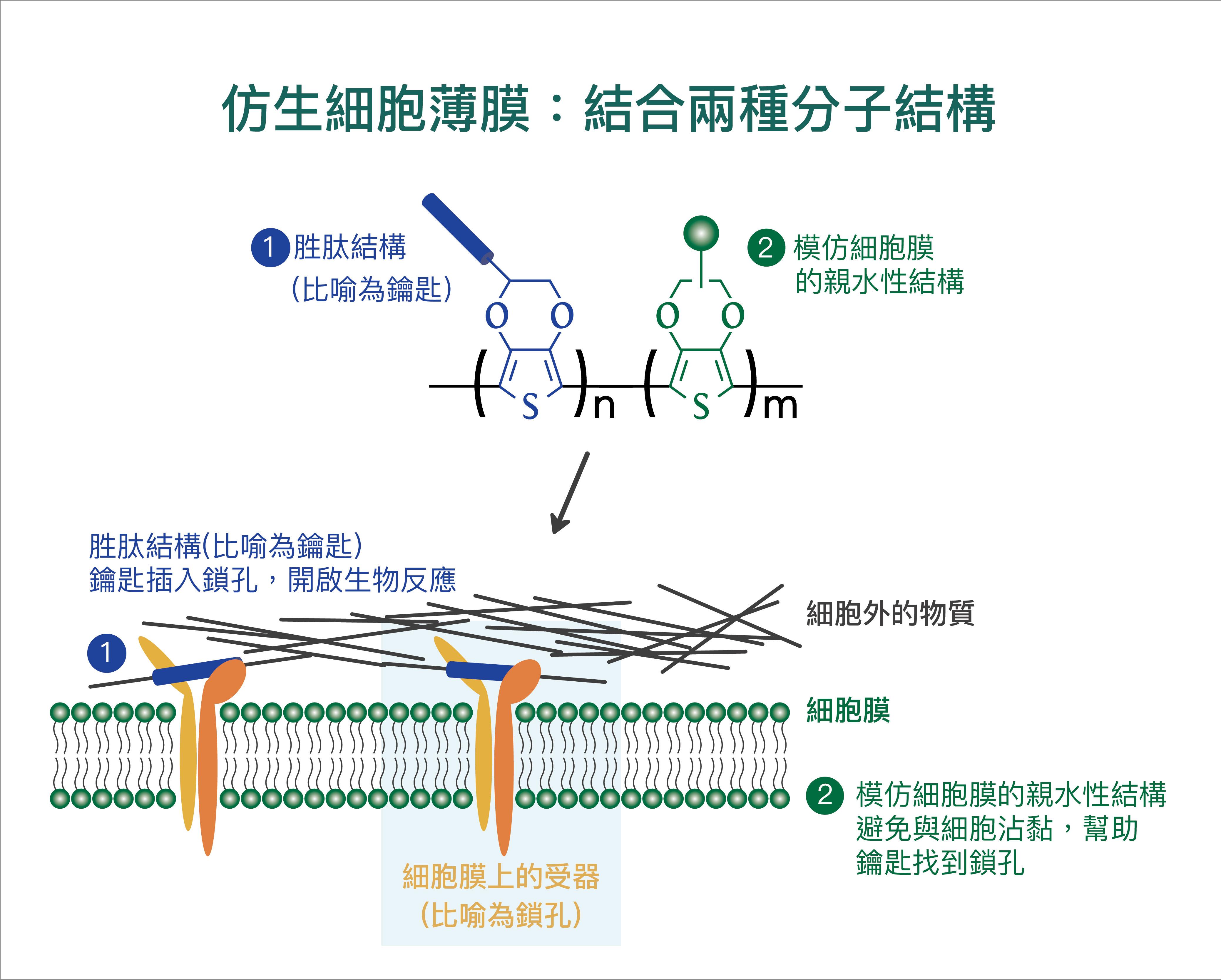 (1)細胞膜上的特定受器 (integrin) 會辨識「仿生細胞薄膜」上的特定胜肽 (peptide),宛如鎖孔與鑰匙結合。(2)為了避免細胞非特異性的沾黏,「仿生細胞薄膜」還需加上模仿細胞膜的親水性結構。 資料來源│尤嘯華提供 圖說重製│王怡蓁、張語辰