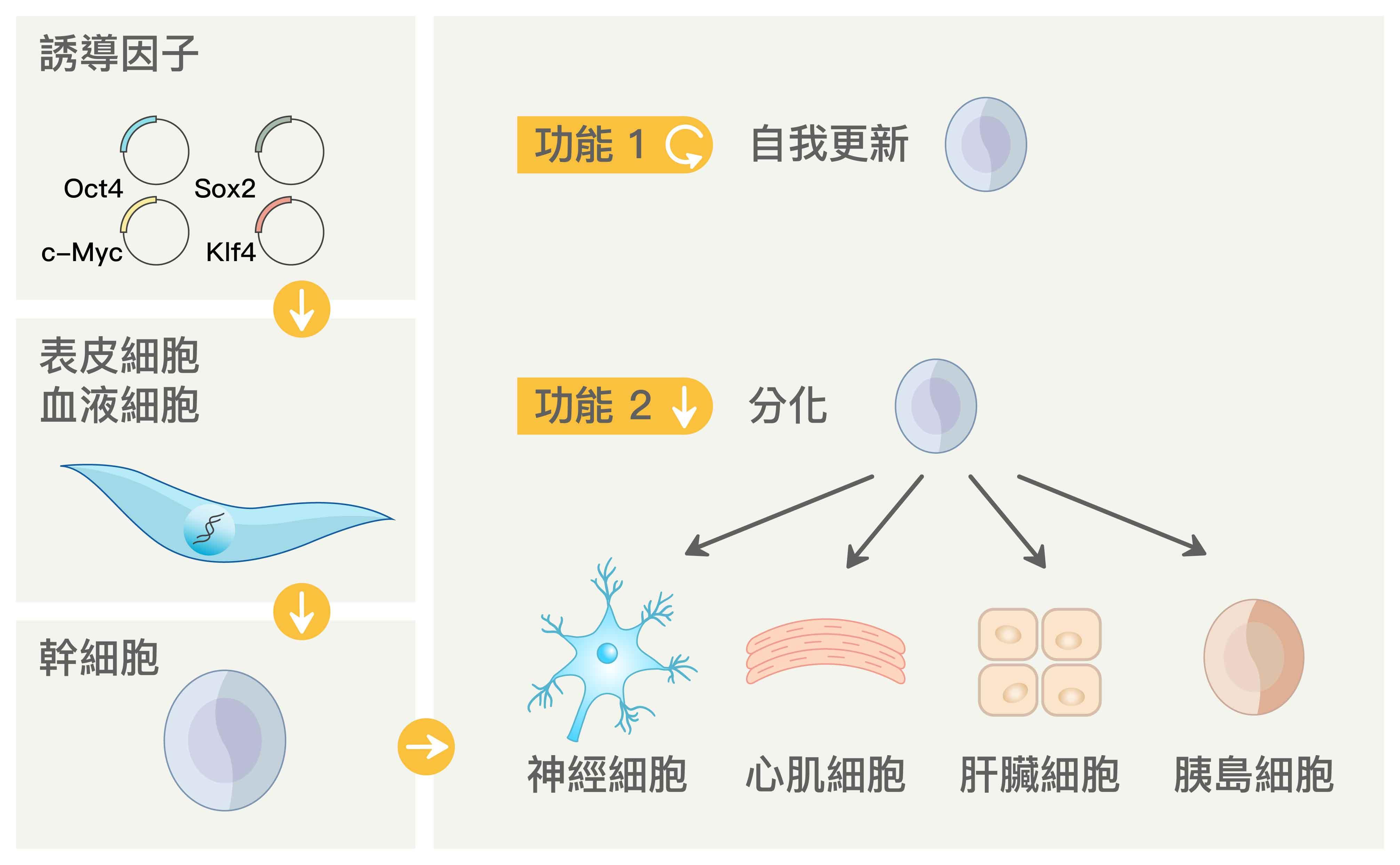 山中伸彌團隊發現,將四個基因表現到小鼠的皮膚纖維母細胞後,可以讓皮膚纖維母細胞重編程 (reprogramming) 為「誘導型多潛能幹細胞 (iPSC)」,而 iPSC 具有分化為身體各種細胞的多能性。圖│研之有物 (資料來源│多能性幹細胞,作者:陳彥榮)