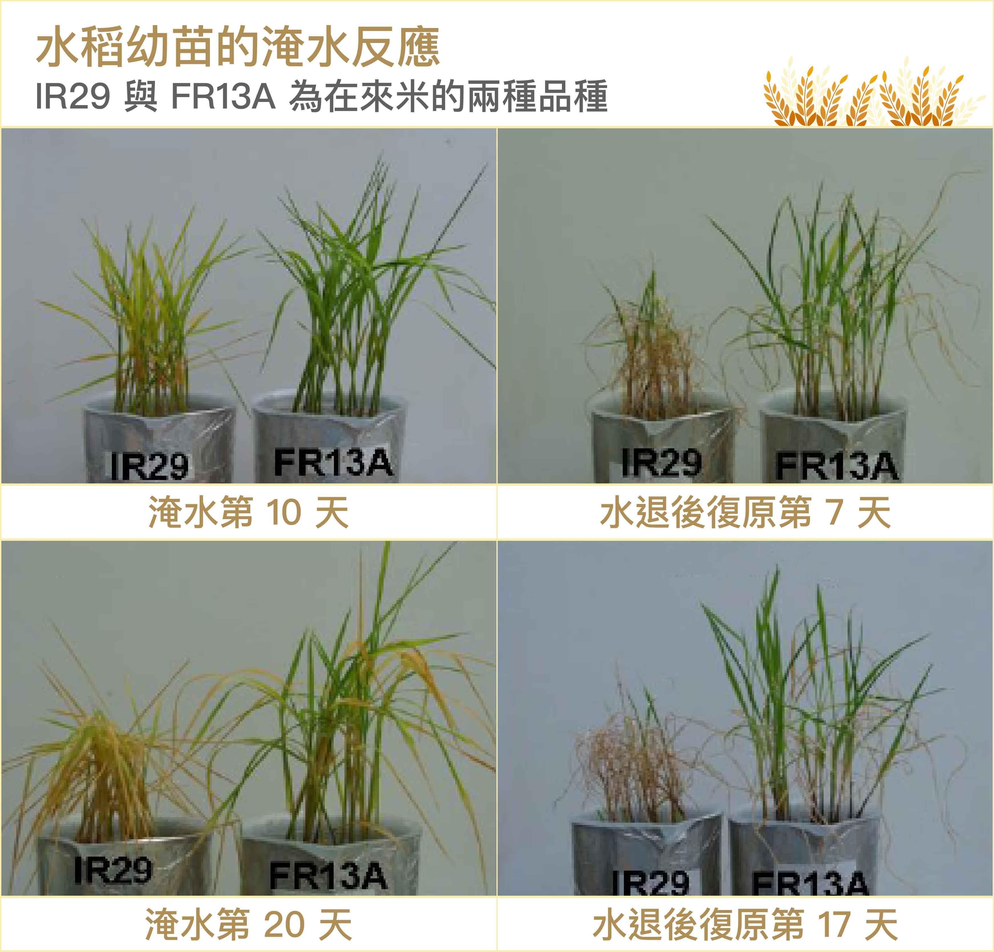 在來米的 FR13A 屬於「抗淹水」的品種,水淹根部時因缺氧稍微枯萎,但水退後不會因為突然獲得很多氧氣而造成氧化反應、細胞死亡。圖│研之有物 (資料來源│林致成)