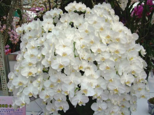 「臺灣阿嬤」──臺灣蝴蝶蘭 Phalaenopsis aphrodite Reichb.f. 有個特色,勾下來有許多朵花、如瀑布一般,臺糖公司培育的最高紀錄是可以長到二十幾朵。圖片來源│施明哲提供