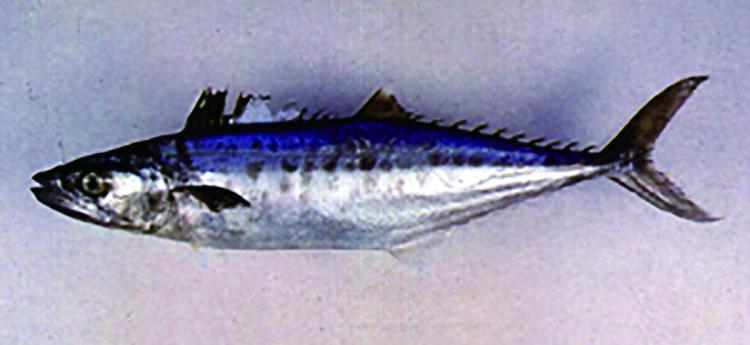 《熱蘭遮城日誌》中提到臺灣漁民捕捉的國王魚 (Kingfish),其實就是土魠魚。圖│臺灣魚類資料庫,魚類生態與演化研究室
