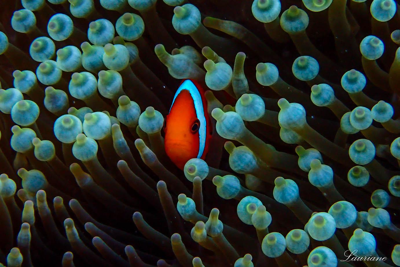 珊瑚礁城市的居民:小丑魚正置身於海葵的保護。圖│Lauriane