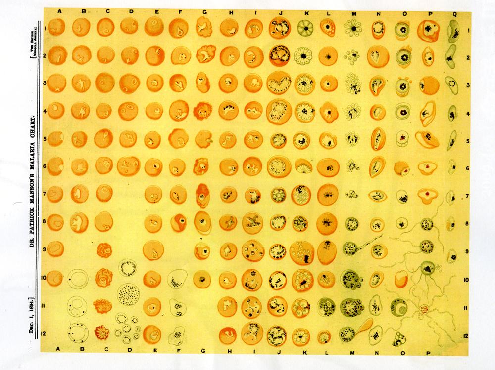 顯微鏡下瘧疾原蟲的分類表。資料來源│《帝國的醫師:萬巴德與英國熱帶醫學的創建》