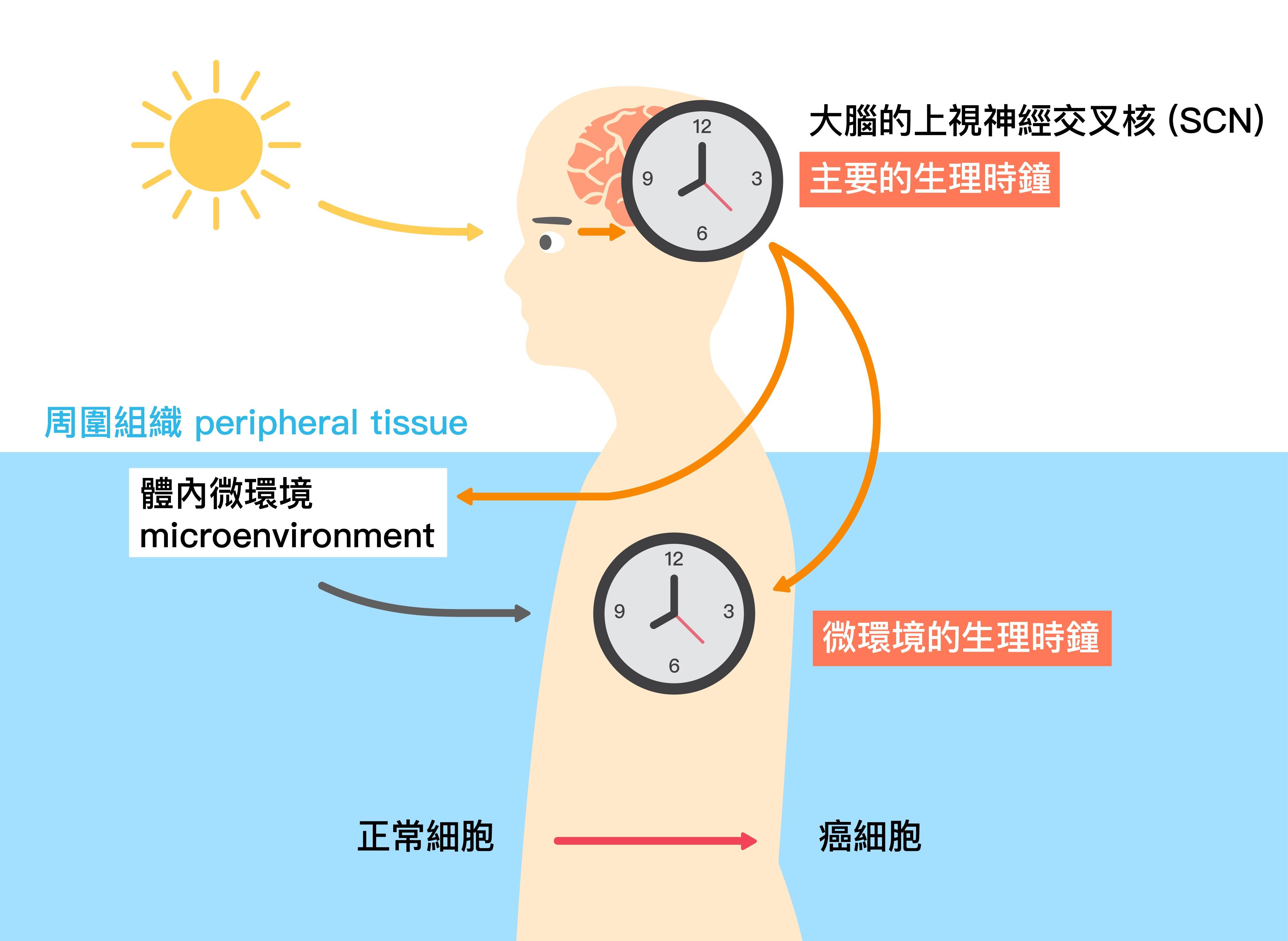 光照影響大腦的主要生理時鐘,而大腦的生理時鐘又會與體內微環境的生理時鐘交互影響。圖│研之有物 (資料來源│黃雯華)