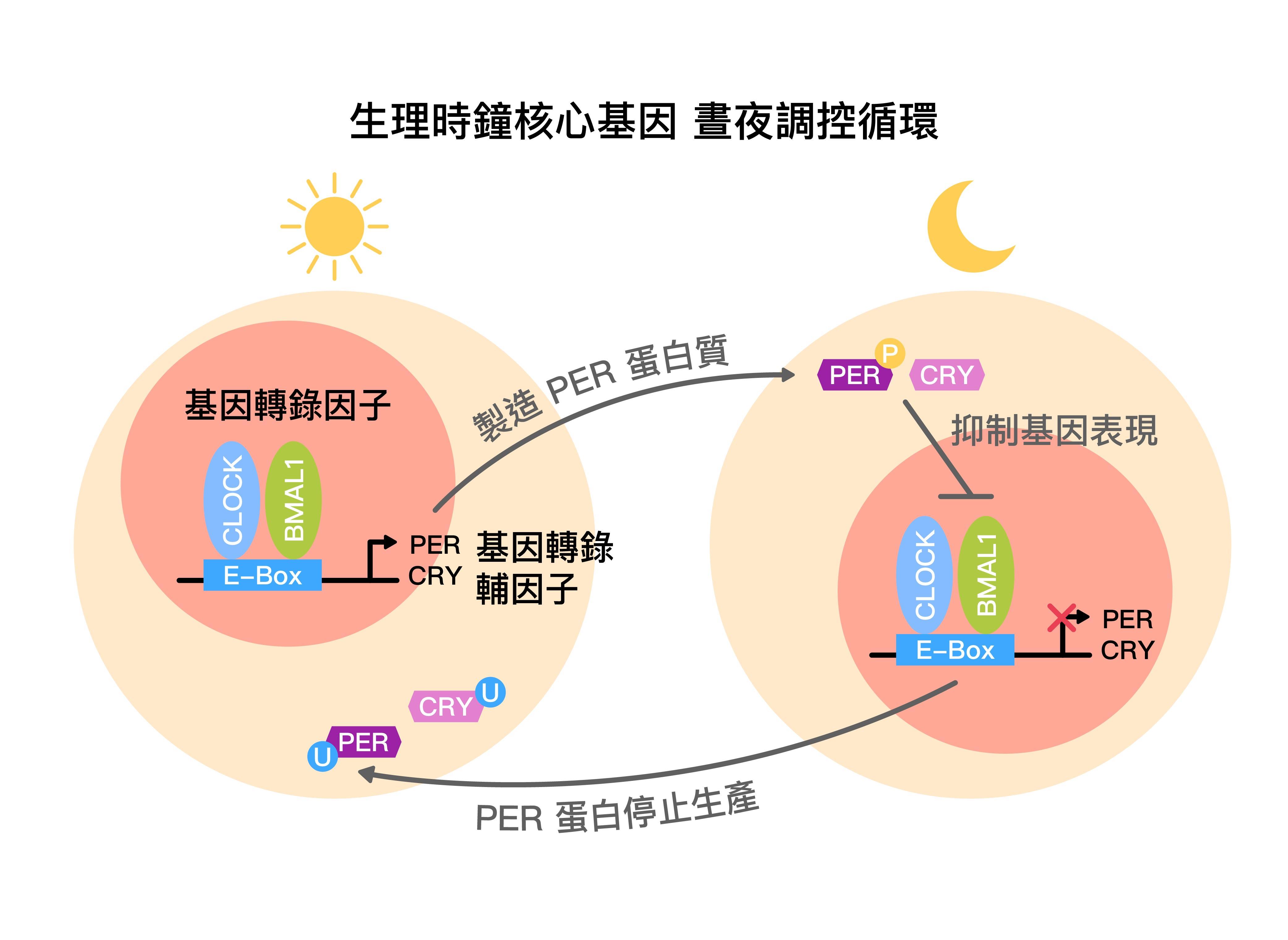 生理時鐘核心基因,晝夜調控循環示意圖 (core circadian feedback loop) 。圖│研之有物 (資料來源│黃雯華)