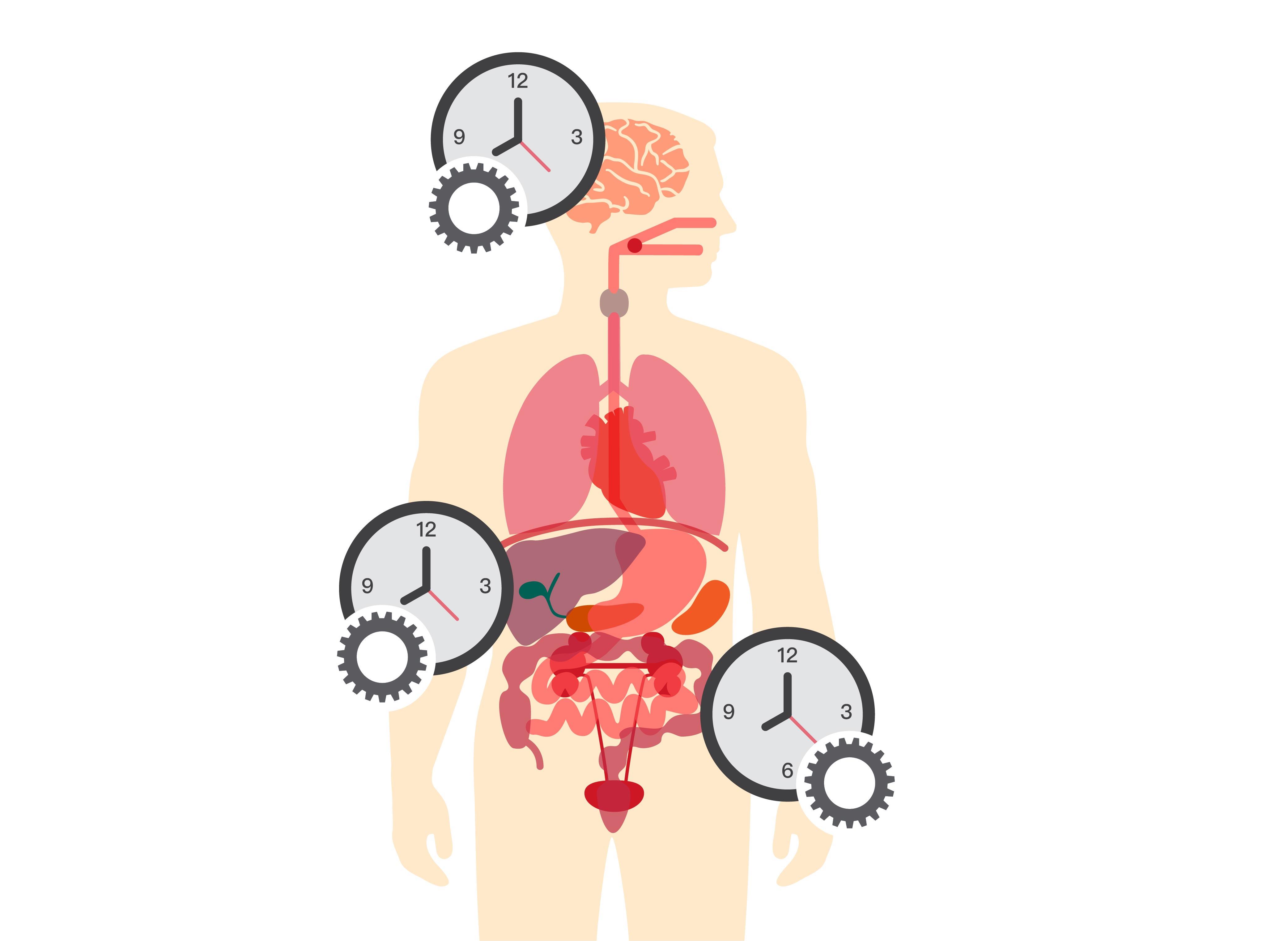 大腦是主要的生理時鐘,但體內各器官也有自己的生理時鐘,彼此會交互影響。圖│iStock (圖說原作│研之有物)