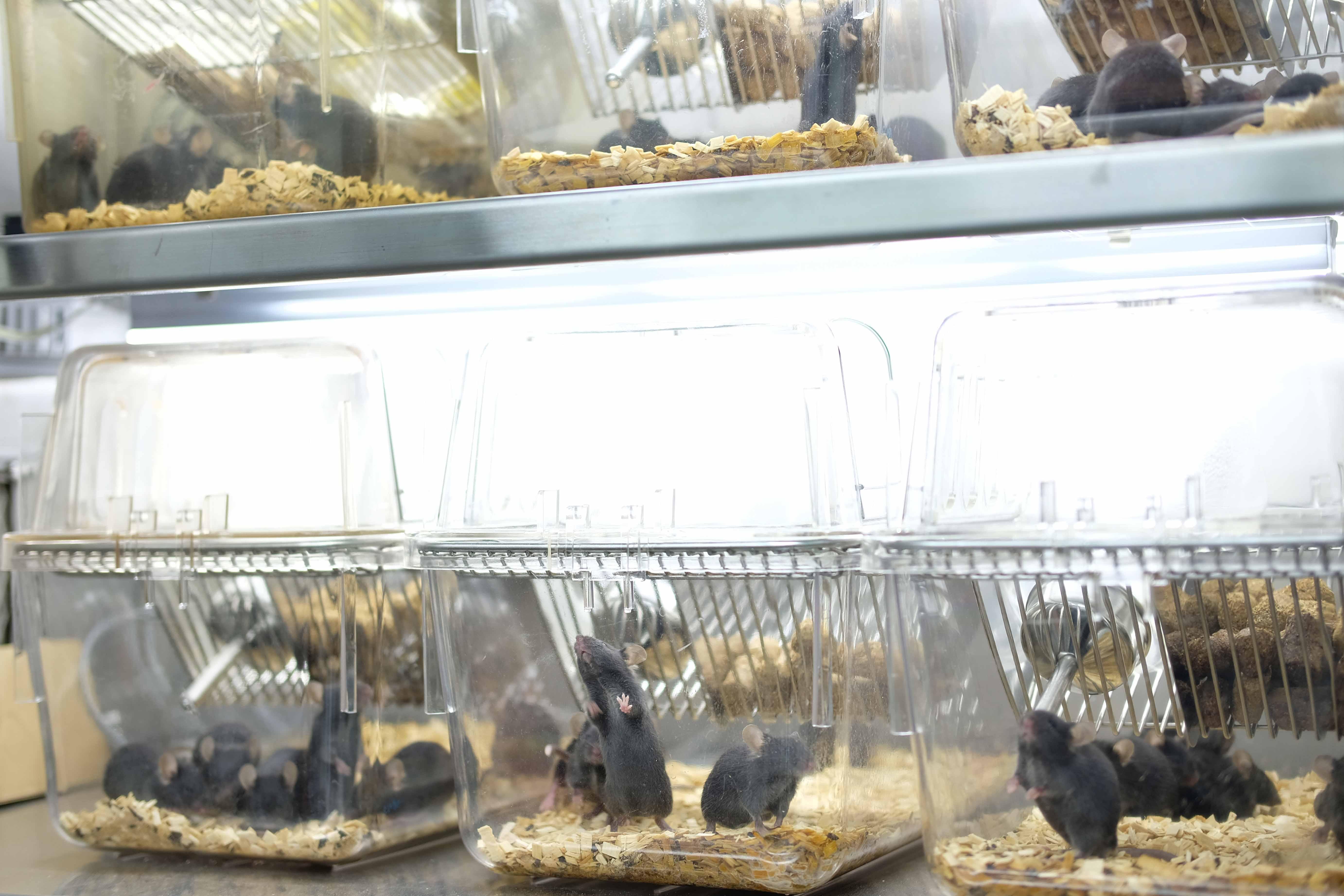 實驗室裡正接受光照、調控生理時鐘為白天的小鼠們。圖│研之有物
