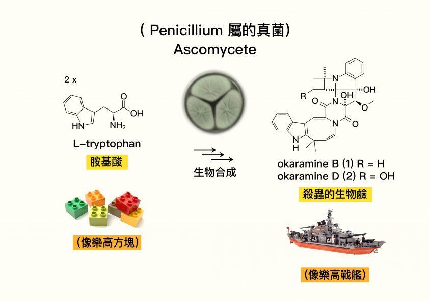 Penicillium 屬的真菌運用單純的胺基酸,組合出結構複雜的 okaramine 有機化合物。圖│研之有物 (資料來源│Biosynthesis of Complex Indole Alkaloids: Elucidation of the Concise Pathway of Okaramines.)