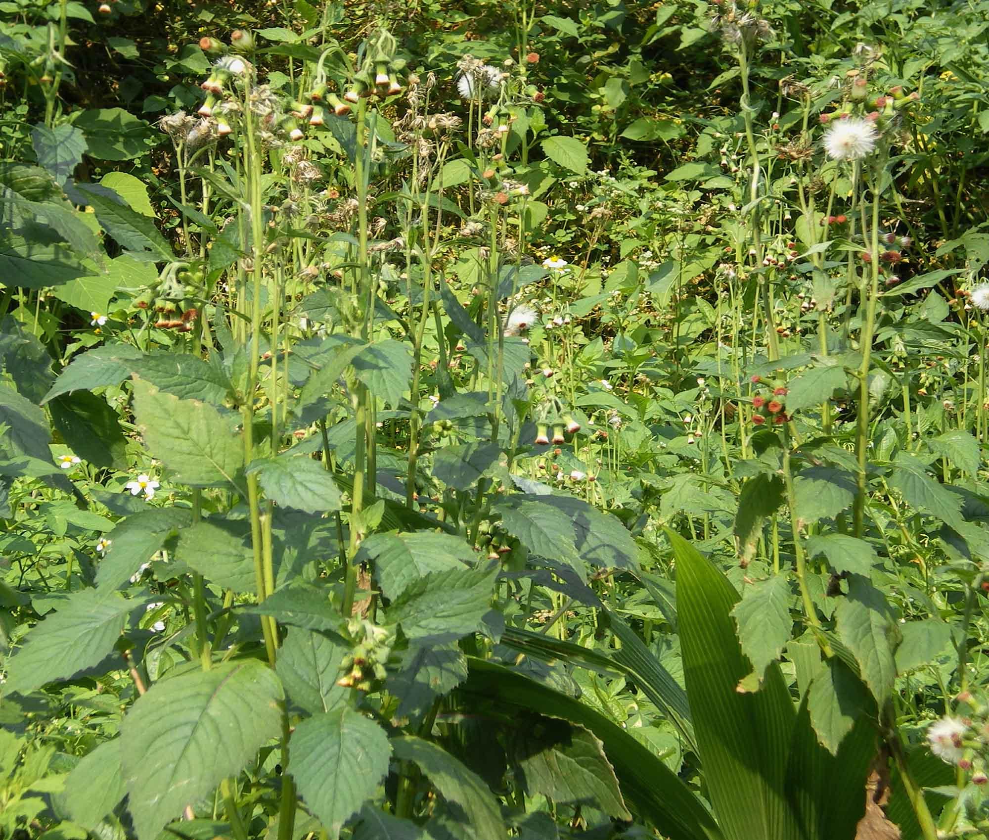 昭和草,含有抗發炎、抑制皮膚黑色素瘤的天然物。 圖片來源│徐麗芬提供