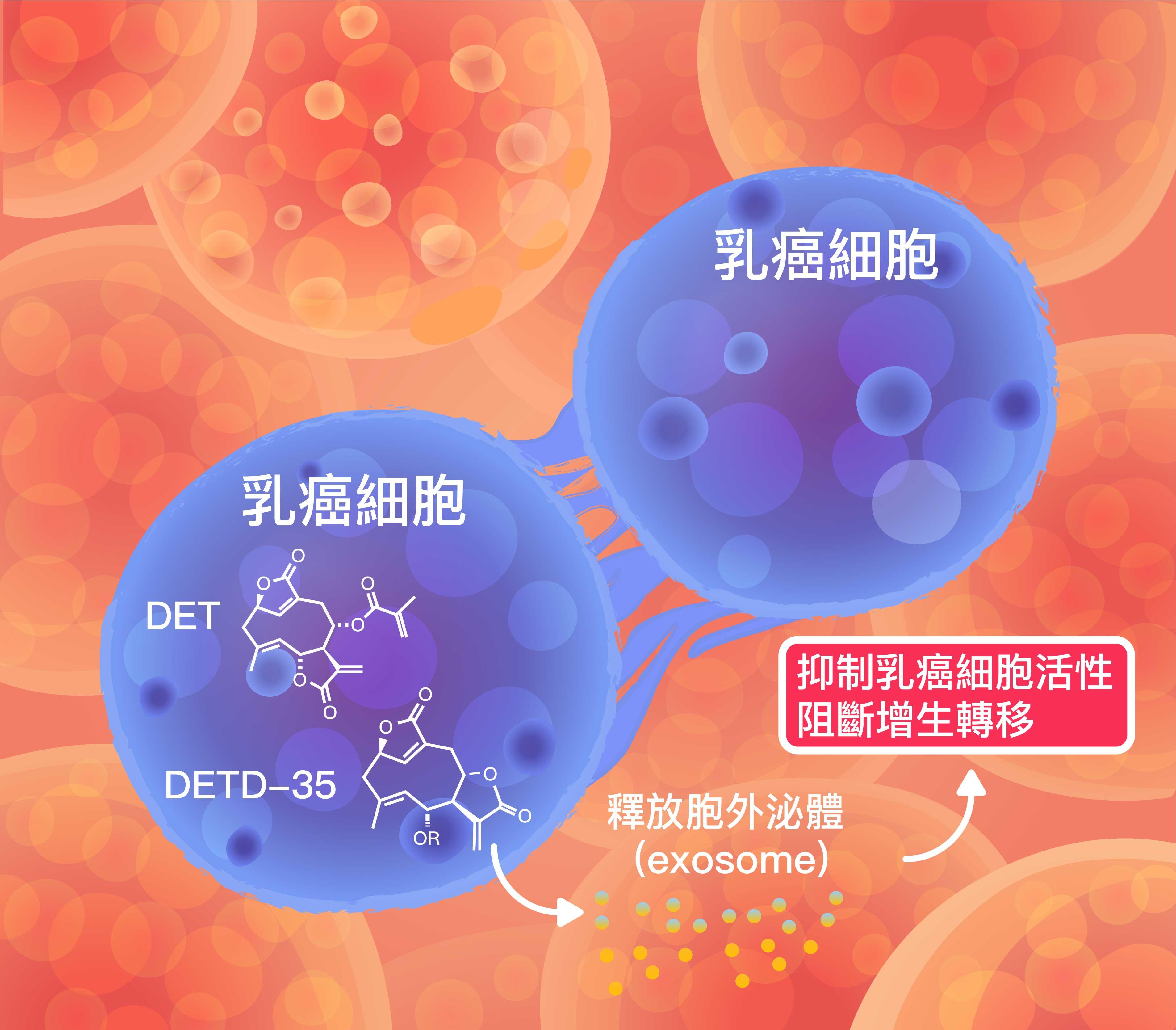 想像示意圖:乳癌細胞經由地膽草 DET 成分處理,改變胞外泌體的蛋白質成分,進而阻斷癌細胞增生。圖│研之有物 (資料來源│徐麗芬)