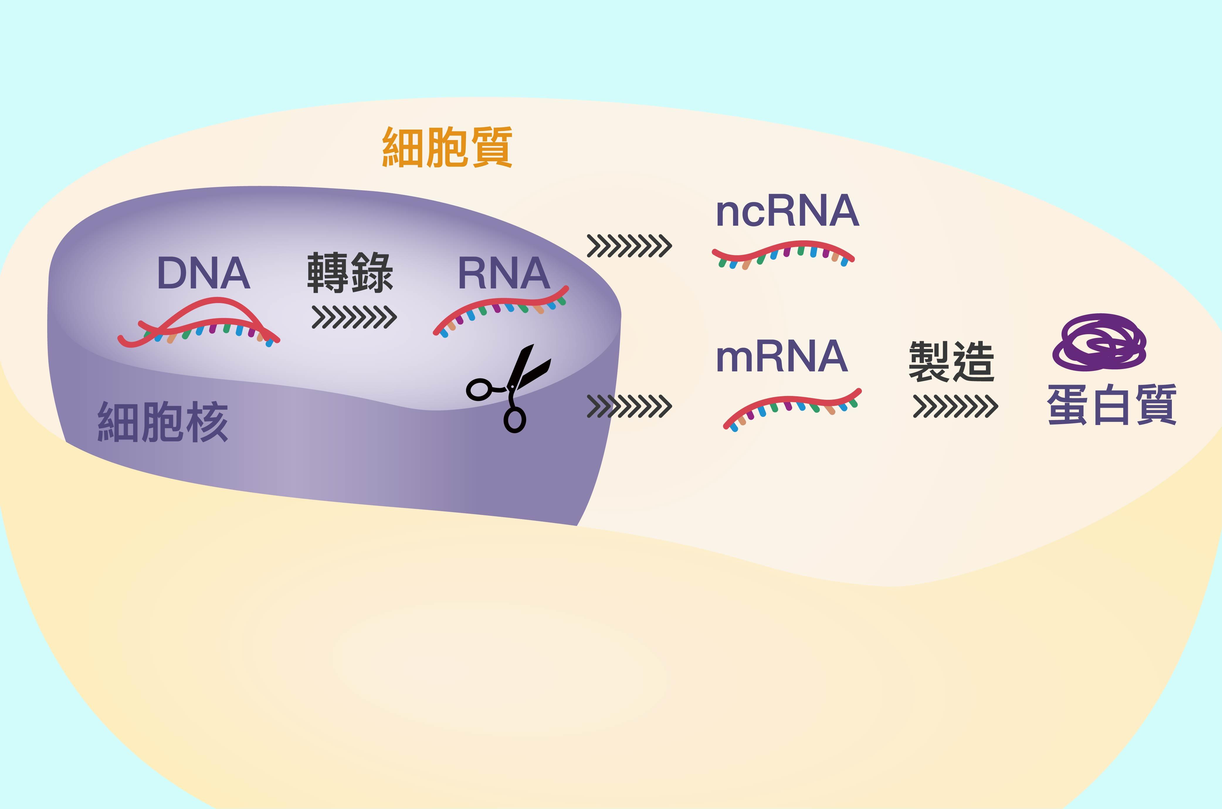 DNA 會先轉錄成 RNA ,再剪接加工為成熟 mRNA,並送去細胞質製造蛋白質。(圖中剪刀為 RNA 剪接的示意位置。) 圖說設計│林婷嫻、張語辰