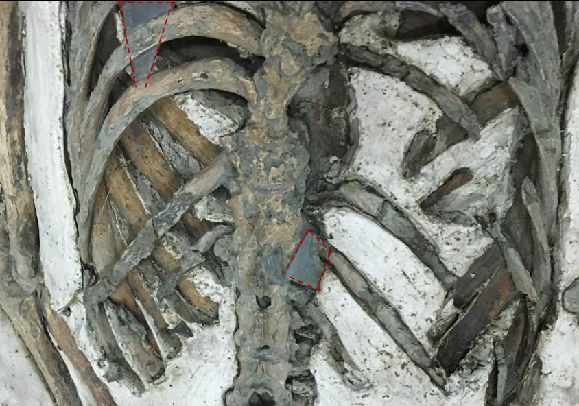 南科南關里東遺址出土,大坌坑文化時期的遺骸,背後插著頁岩箭鏃(紅色虛線標示)。 攝影│張語辰