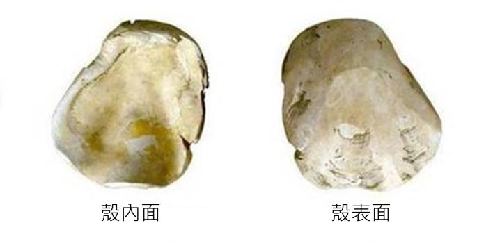 南科南關里東遺址出土,大坌坑文化時期以硨磲貝製成的勺器。 圖片來源│南科考古隊