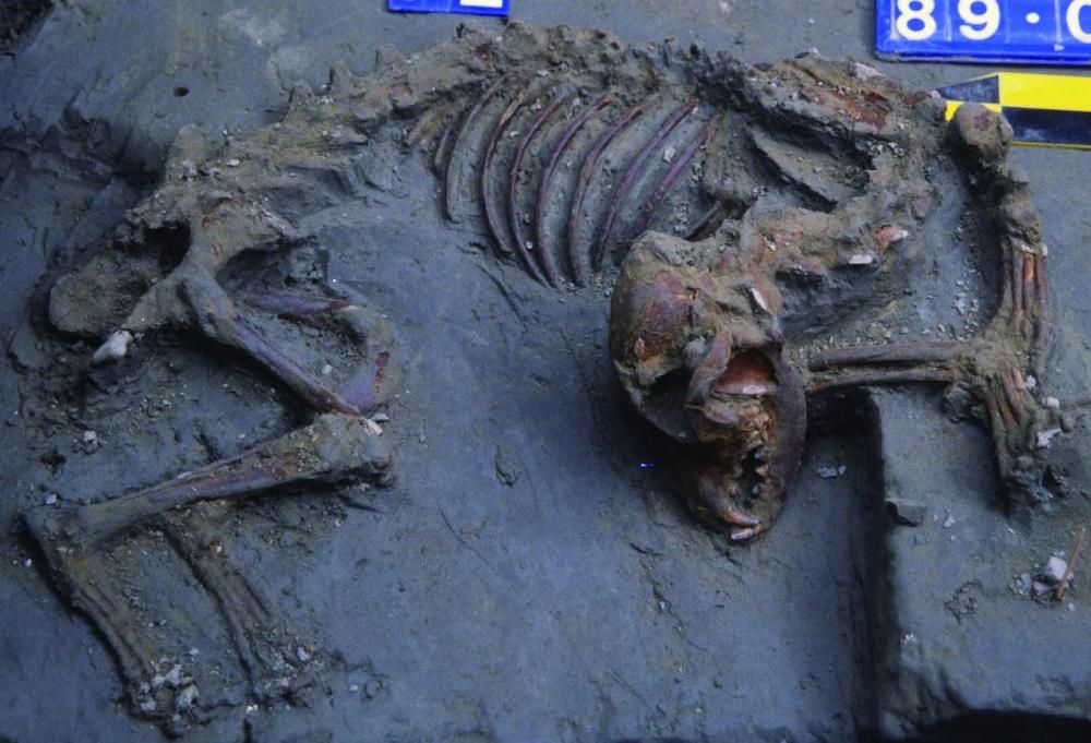 南科南關里遺址出土,大坌坑文化時期的「臺灣第一狗」。圖│南科考古隊